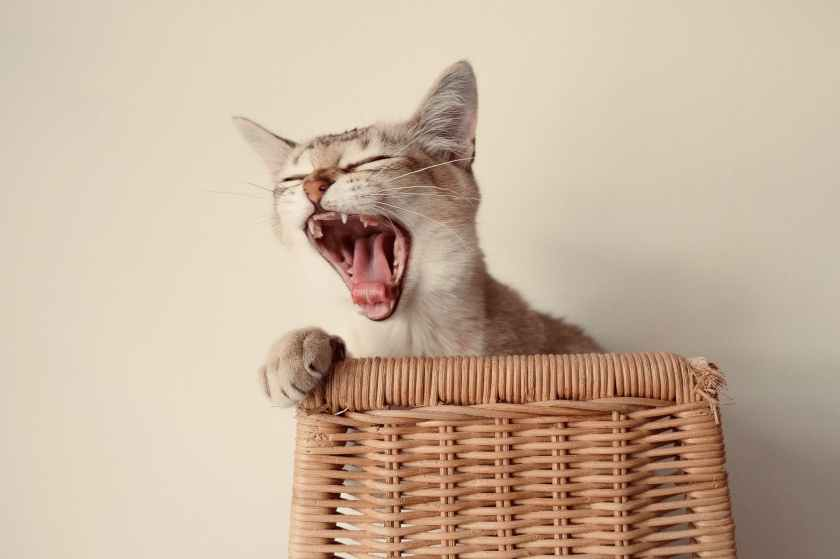 photo of cat yawning